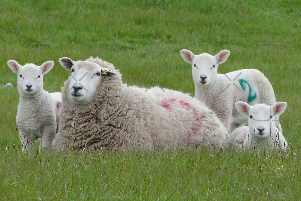 Hey! Are Ewes Looking At Me? by Barrie Woodward