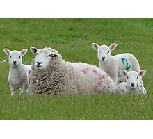Hey! Are Ewes Looking At Me? Photographic Print