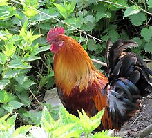 Urban rooster by Smaragd