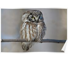 Adult Boreal Owl Poster