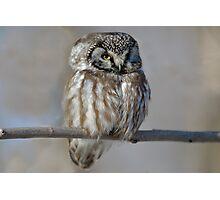 Adult Boreal Owl Photographic Print