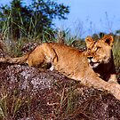 Lion Resting on Rock by SerenaB