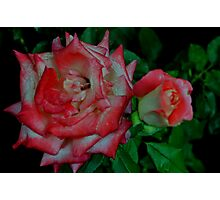 Red and White Roses Photographic Print
