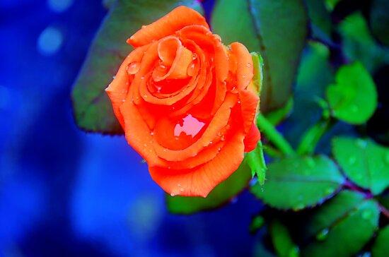 Roses and Raindrops by SRLongstroth