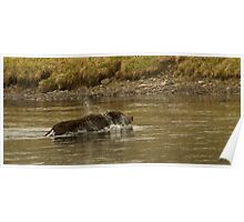 Grizzly Boar Swimming The Yellowstone River-Signed-8040 Poster