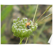 So What's Eating Queen Anne's Lace? Poster