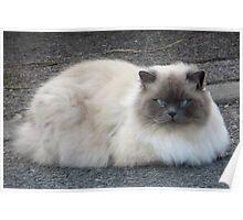 Fluffy blue eyed cat Poster
