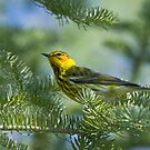 Cape May Warbler by Wayne Wood