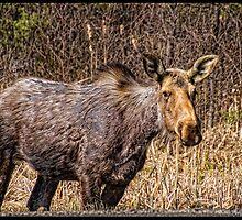 Algonquin Park Moose by greyrose