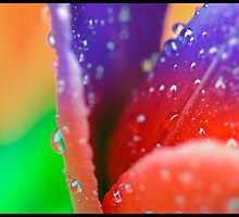 Tulip in the rain in transition  by Bob Culver