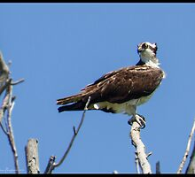 Osprey on high by greyrose