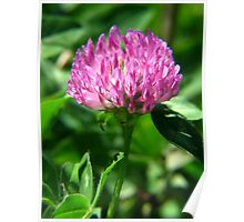 Just Red Clover or a Beautiful Wildflower-You Decide Poster