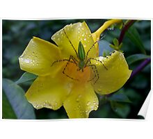 Green spider on wet yellow flower, Thailand Poster