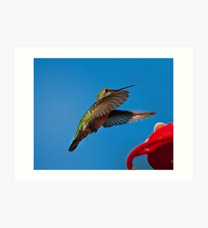 Humming Bird Landing Art Print