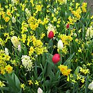 A Splash of Scarlet - Tulips among the Daffodils by kathrynsgallery