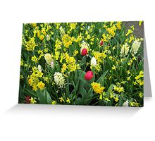 A Splash of Scarlet - Tulips among the Daffodils Greeting Card