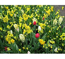 A Splash of Scarlet - Tulips among the Daffodils Photographic Print