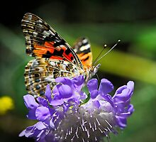 The Painted Lady Butterfly  by Saija  Lehtonen