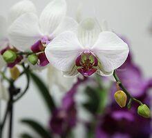 White orchid by Rossen Stanoev