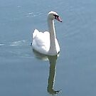 Swan's Reflection by Marilyn Bell