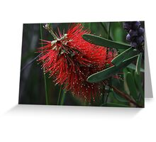 Callistemon pachyphyllus Greeting Card