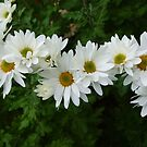 Daisies by Marilyn Bell