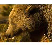 Grizzly Sow-Signed-4855 Photographic Print