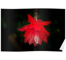 Red Epiphyllum Poster