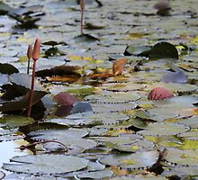 Lilly Pads at Botanic Gardens by AHakir