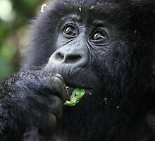 Juvenile Mountain Gorilla, Kwitonda Group, Rwanda by Carole-Anne