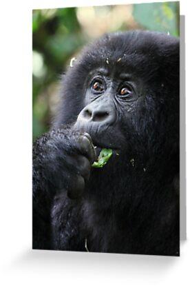Juvenile Mountain Gorilla, Kwitonda Group, Rwanda by Carole-Anne