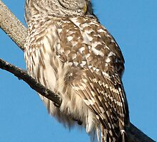 A Barred Owl resting on a Sunny winter's day. by Bryan Shane
