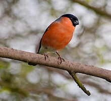 Bullfinch by M.S. Photography/Art