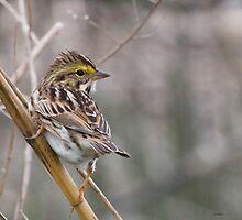 Savannah Sparrow by Dennis Cheeseman