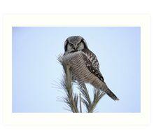 Northern Hawk Owl Art Print