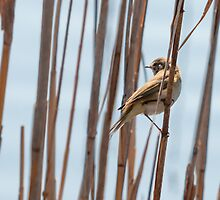 Reed warbler, Parque Natural de la Albufera de Valencia, Spain by Andrew Jones