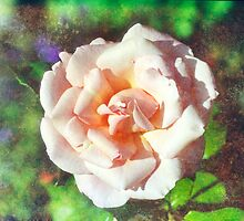 Old Rose by Graham Prentice