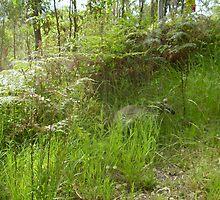 Kangaroo hiding in long grass, by MardiGCalero