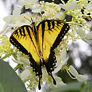 Miss Butterfly Yellow by Jeff Johannsen