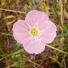 Pink Evening Primrose in Texas by Robert Kelch, M.D.