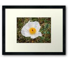 White Prickly Poppy  Framed Print