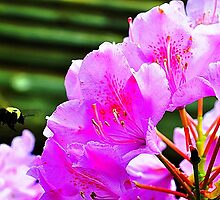 Rhododendron with Bee by joevoz