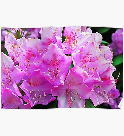 Rhododendron Flower Poster