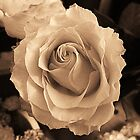 Rose In Sepia by Mistyarts