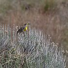 Western Meadowlark on Sage by c painter
