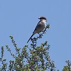 Loggerhead Shrike  by c painter