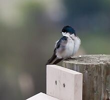Tree Swallow on Post by c painter