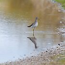 Yellowlegs with Reflection by c painter