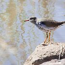 Spotted Sandpiper by c painter