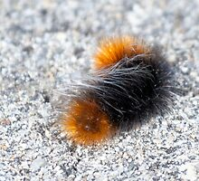 Wolly Bear caterpiller by c painter